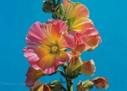 Hollyhock-painting by Dyan Padgett-210209